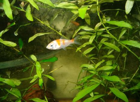 G_peixinho