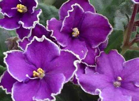 G_violet